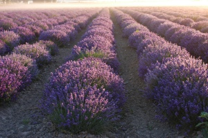 Lavender Fields large
