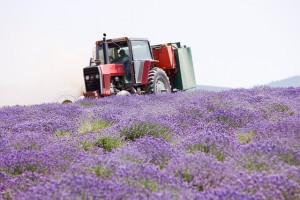 Lavender Fields med