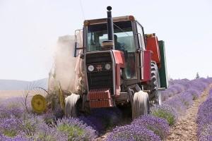 Lavender harvest med